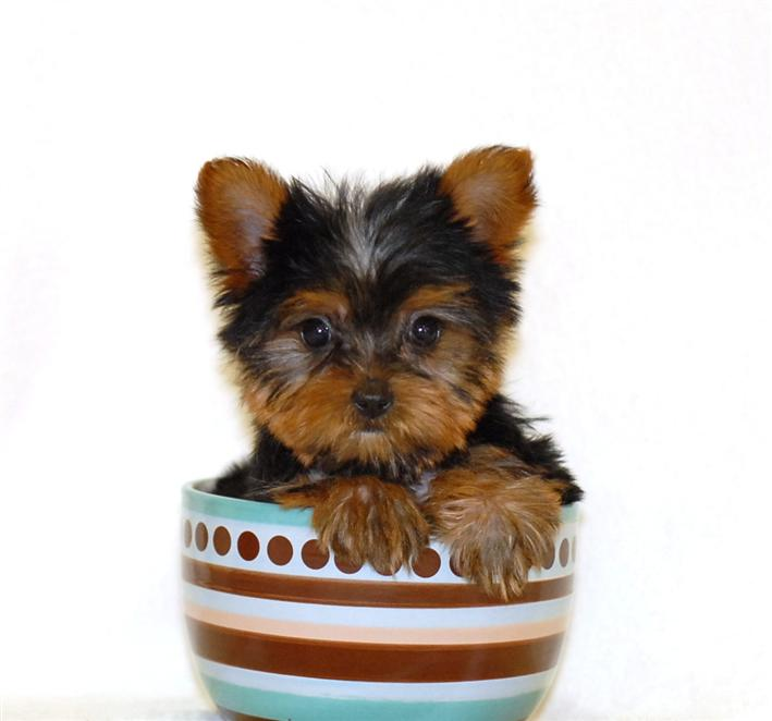 Yorkie Puppies for Sale | Glamorous Pooch Puppies For Sale