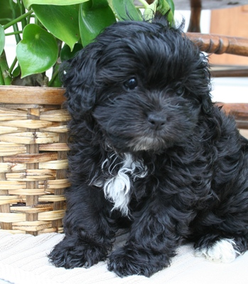Shih  Puppies on Shih Poo Puppies    Glamorous Pooch Puppies For Sale