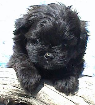 Pekapoo Puppies for Sale | Glamorous Pooch Puppies For Sale