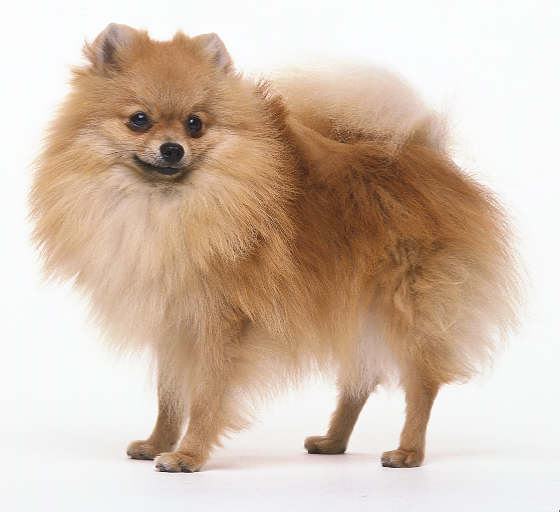 Pomeranian Puppies | Glamorous Pooch Puppies For Sale