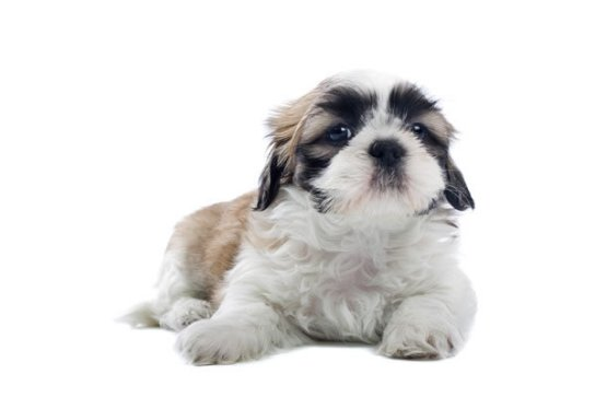 shih tzu temperament lively shih tzu puppies glamorous pooch puppies for sale 2930