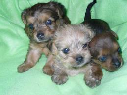 Chorkie Puppies on Chorkie Puppies For Sale    Glamorous Pooch Puppies For Sale
